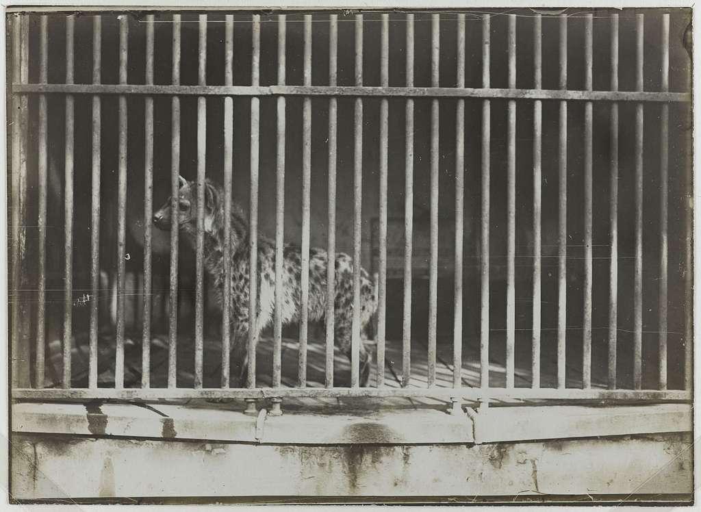 """Série """"Jardin des Plantes"""", hyène en cage, 5ème arrondissement, Paris."""